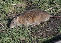 Seattle Rodent Control Rodent Prevention Tips Seattle
