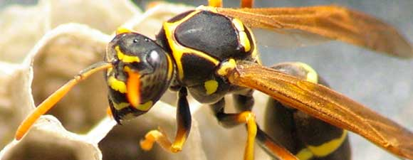 how to get rid of bald faced wasp